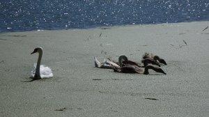 Cisnes y más cisnes. Escenas típicas del Danubio